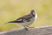 Schneefink - Snowfinch