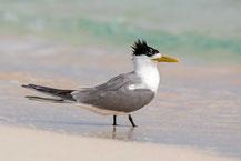 Eilseeschwalbe (Thalasseus bergii) - Greater crested tern