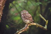 Steinkauz Athene noctua, Little Owl