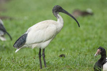 Molukkenibis (Threskiornis molucca) - Australian white ibis