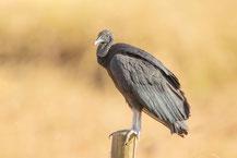 Rabengeier, black vulture, Coragyps atratus