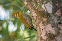 Weißbrauenspecht (Piculus aurulentus), Yellow-browed Woodpecker