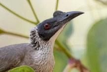 Weißscheitel-Lederkopf, Silver-crowned Friarbird