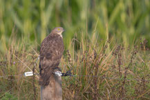 Wespenbussard, European honey buzzard, Pernis apivorus