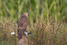 Wespenbussard, European honey buzzard, Pernis apivorus