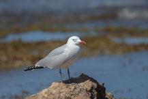 Korallenmöwe (Ichthyaetus audouinii) - Audouin's gull