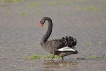 Trauerschwan (Cygnus atratus) - Black swan