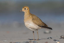 Goldregenpfeifer (Pluvialis apricaria) - European golden plover