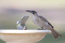 Glattstirn-Lederkopf, Little Friarbird, Philemon citreogularis