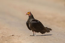 Kleiner Gelbkopfgeier,  lesser yellow-headed vulture, Cathartes burrovianus