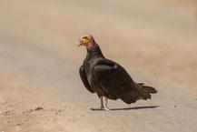 Kleiner Gelbkopfgeier,  lesser yellow-headed vulture, Cathartes burrovianus