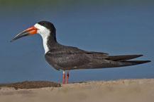 Schwarzmantel-Scherenschnabel (Rynchops niger) - Black skimmer