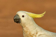 Gelbhaubenkakadu, Sulphur-crested cockatoo, Cacatua galerita