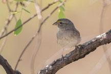 Wachtelammer (Ammodramus humeralis) - Grassland sparrow