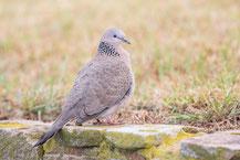 Perlhalstaube (Streptopelia chinensis) - Spotted dove