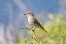 Grauschnäpper, Spotted Flycatcher, Muscicapa striata