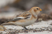 Schneeammer (Plectrophenax nivalis) - Snow Bunting