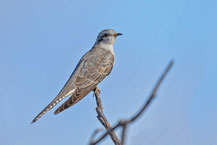 Blasskuckuck, Pallid cuckoo, Cuculus pallidus