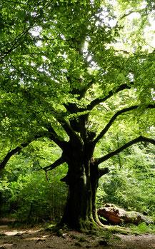 Baum Sababurg