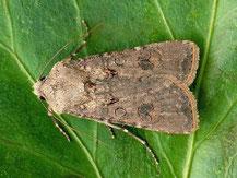 noctuelle potagere papillon chenille