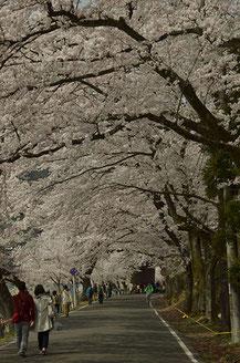 松下 崇一さん:海津大崎の桜並木