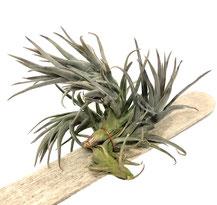 Tillandsia aeranthos anana de Brasil