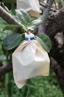鳥や虫、病気との闘いは農家にとって死活問題。松屋梨園では袋で防除している。