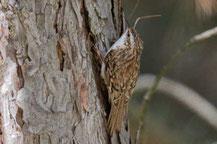Waldbaumläufer (Certhia familiaris)