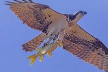 Westlicher Fischadler (Pandion haliaetus)