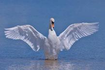 Männlicher Höckerschwan breitet seine Flügel aus.