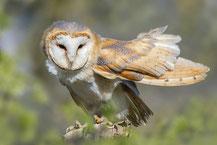 Schleiereule (Tyto alba); Foto: Viola Wege