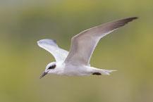 Lachseeschwalbe (Gelochelidon nilotica) im Schlichtkleid