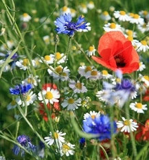 Wildflowers for a lawn