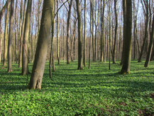 Wild garlic growing in beech forest in Hainich National Park, Thuringia
