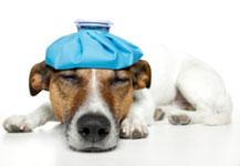 HUnd Schmerz Hundephysiotherapie Heike Amthor Leipzig Stötteritz