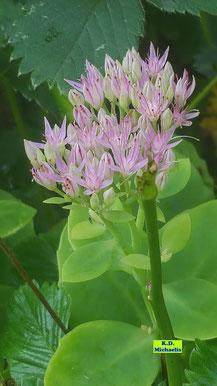 Nahaufnahme eines hellrosa Sedum-Blütenstandes mit hellgrünen, fleischigen Blättern von K.D. Michaelis
