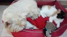 Un chien westie couché avec un chaton dans sa panière par coach canin 16 educateur canin en charente