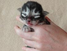 Bella von La- Lea- Lil, Norwegische Waldkatze, amber, 3 Tage alt