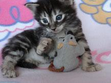 Bella von La- Lea- Lil, Norwegische Waldkatze, amber, 4 Wochen alt