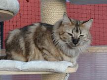 Bella von La- Lea- Lil, Norwegische Waldkatze, amber, 2,5 Jahre alt