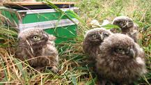 Knuffig und selten: Junge Steinkäuze brauchen warme Gebiete mit Nistplatzangebote