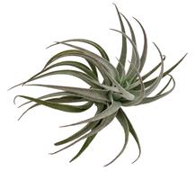 Tillandsia recurvifolia var subsecundifolia