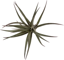 Tillandsia jonesii