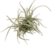 Tillandsia balsasensis Holm