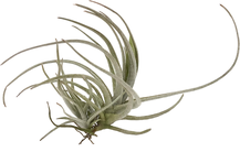 Tillandsia lepidosepala