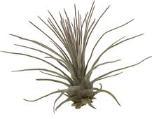 Tillandsia plumosa