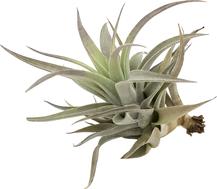 Tillandsia hondurensis