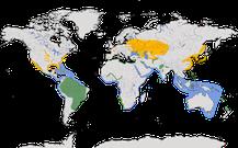 Weltweite Verbreitung der Gattung Sternula.