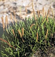 Vegetación exclusiva de esta zona, que protege las dunas del viento, en la zona de Santa Pola.