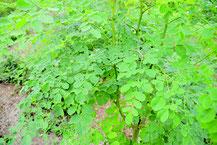「奇跡の植物」と呼ばれるモリンガ(資料写真)